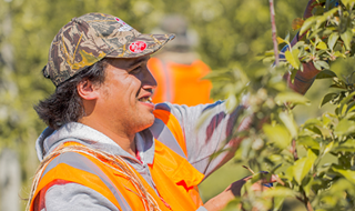 Seasonal worker picking apples in an orchard